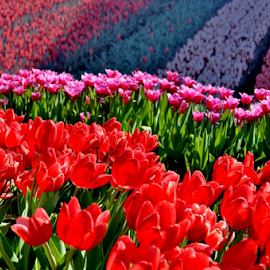 Flower field by Alegna Nehc - Flowers Flower Gardens ( field, beauty, tulips, flowers, garden )