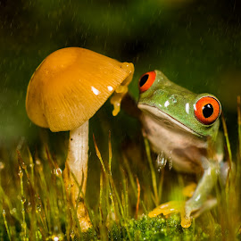 Red Eye Tree Frog  by Kutub Macro-man - Animals Amphibians ( animals, wild life, nature, red eye tree frog, rain,  )