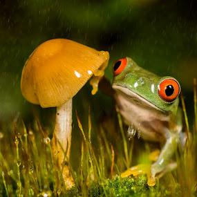 Red Eye Tree Frog  by Kutub Macro-man - Animals Amphibians ( animals, wild life, nature, red eye tree frog, rain )