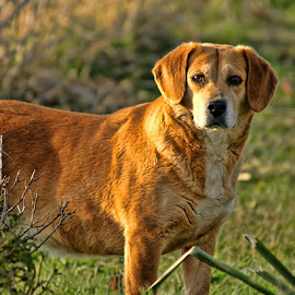 Keeping an Eye Out by Luanne Bullard Everden - Animals - Dogs Portraits ( animals, dogs, nature, pets, outside )