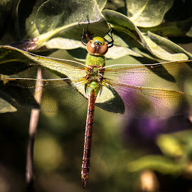 Dragonfly by Amber Olsen - Animals Insects & Spiders ( iowa, summer, dragonfly, clear lake,  )