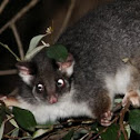 Common Ringtail Possum