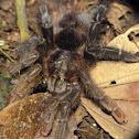 Red rump tarantula