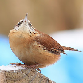 Carolina Wren by Tina Marie - Animals Birds ( carolina wren, brown bird, wings, wren, beak, wren bird, brid, small bird, feathers, small brown bird )
