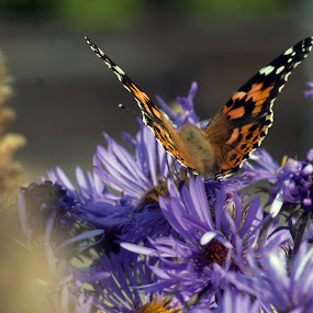 Painted Lady On Asters by Howard Mattix - Animals Insects & Spiders ( macro, butterflies, wikd flowers, natiure up close, insects,  )