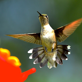 Hurray!!!!! by Roy Walter - Animals Birds ( flight, animals, nature, wings, hummingbird, wildlife, birds )