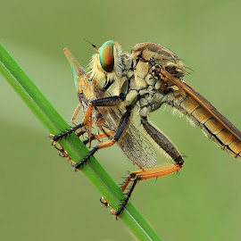 big meal by Rizky Hendrawan - Animals Insects & Spiders