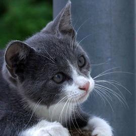 curiosity by Zoltan Szabo - Animals - Cats Kittens