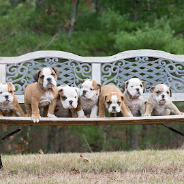 Bench Of Bullies by Tara Chumsae - Animals - Dogs Puppies ( english bulldog, dogs, bench, bulldogs, cute, wrinkles, bulldog, puppies, english bulldogs, pet, pets, cuddly, puppy, dog, puppies puppy, outside )