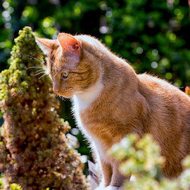Nutmeg by Darrell Evans - Animals - Cats Portraits ( orange, cat, ginger, stare, tom, garden, portrait )