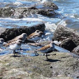Dunlin With Friends by Erika  Kiley - Novices Only Wildlife ( summer, ocean, beach, birds, rocks )