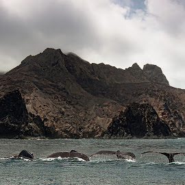 Humpback Whale Diving St Helena by Paul Tyson - Animals Sea Creatures
