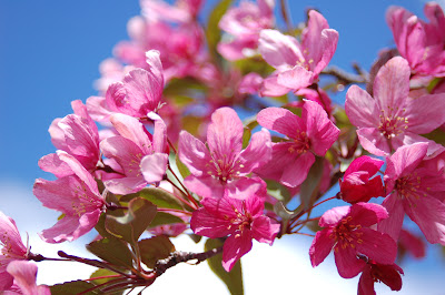 Pink plum blossoms and fresh blue sky