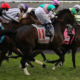 They're Off by Trish Cassling - Novices Only Sports ( racing, horse, woodbine, thoroughbred, race,  )