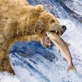 Alaska. The Catch. by Rob Taylor - Animals Other Mammals ( grizzly )