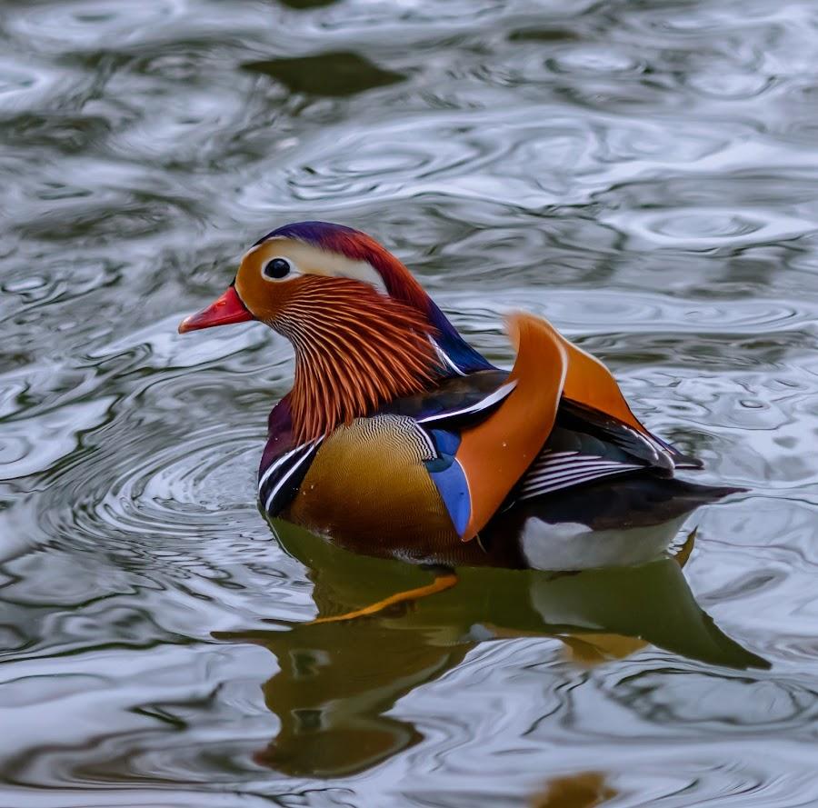 Mr. Mandarin by Avtar Singh - Animals Birds ( water, bird, reflection, nature, mandarin, duck, swimming )
