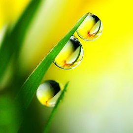 by Fentee  Affandy - Nature Up Close Natural Waterdrops ( yellow flowers, macrophotography, waterdrops )