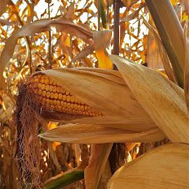 Corn by Tyrell Heaton - Instagram & Mobile iPhone ( iphone, corn )