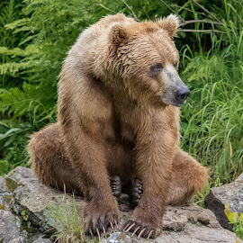 Mama Bear by Stuart Partridge - Animals Other Mammals ( mama, grizzly, bear, redoubt, alaska, brown bear )