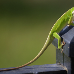 You Following Me? by Alan Hammond - Animals Reptiles ( reptiles, lizard, nature, gecko, green, #animals,  )