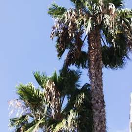 Palm Trees & Blue Skies by Matt Franklin - Nature Up Close Trees & Bushes ( california, palm trees, beach )