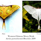 Western Chinese Moon moth