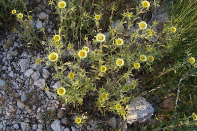 Pallenis spinosa, Asterisco spinoso