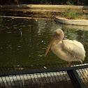 Rosy Pelican.