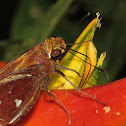Skipper on Heliconia