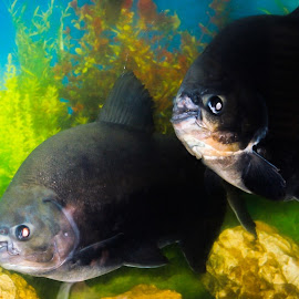 Pacu Fish by Cecilia Laird - Animals Fish ( pacu, pair, fish, aquarium, black pacu,  )