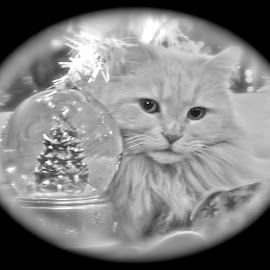 Christmas kitty by Laura Luchsinger - Animals - Cats Portraits