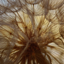 by Chandra Whitfield - Nature Up Close Other plants ( plant, nature, goats beard, photography )