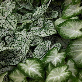 Caladiums by Robin Morgan - Nature Up Close Leaves & Grasses ( green, caladium, leaves )