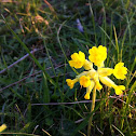 Common Cowslip