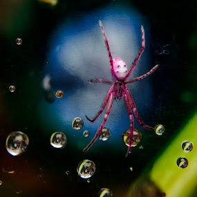 garden Spider by Jun Santos - Animals Insects & Spiders