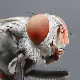 red zombie by Aris Kh Kh - Animals Insects & Spiders ( macro, lalat, red, red eyes, flies extreme, flies, flies home, eyes )