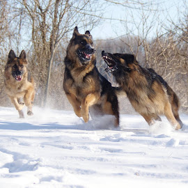 Winter fun by Kira Brita - Animals - Dogs Playing