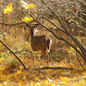 Eastern White-tail Deer (Doe)