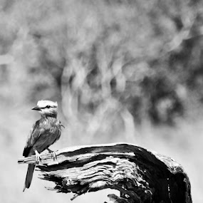 by Jenice Vd Berg - Animals Birds ( black and white, animal,  )