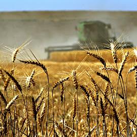 Wheat harvest by Gaylord Mink - Landscapes Prairies, Meadows & Fields ( field, wheat, wheat harvest, combine, harvest )