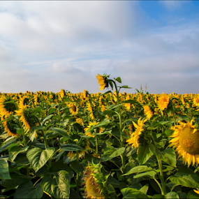 Sunflowers by Simon Kovacic - Landscapes Prairies, Meadows & Fields ( field, serbia, green, sunflowers, yellow, vojvodina )