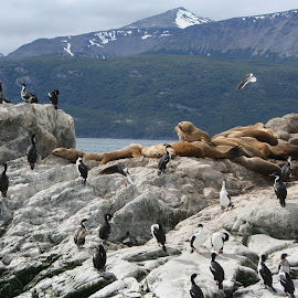 Co-existance by Chilly Pup - Nature Up Close Rock & Stone ( argentina, andes, ushuaia, explorer, nature, national geographic, beagle channel, elephant seal, south america, cormorant, tierra del fuego )