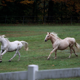 Frolicking Horses by Ted and Nicole Lincoln - Animals Horses ( horses, tag, horse, trees, fun )