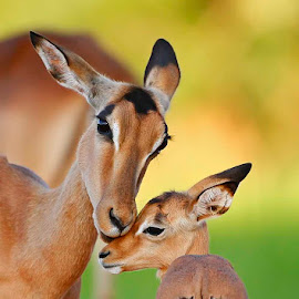 The Love of a Mother by Chris Krog - Animals Other Mammals ( impala, kruger park, bush )