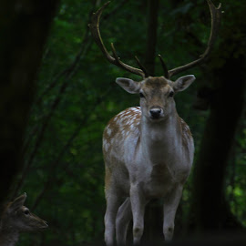 Stag by Wendy Peters - Novices Only Wildlife ( contrast, woodlands, wildlife, forest, spotlight, deer )