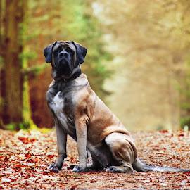 English Mastiff by Jana Vyskočilová - Animals - Dogs Portraits ( doggie, nature, english mastiff, trees, forest )
