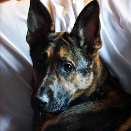 Cassie by Terri Kvetko Gonzalez - Animals - Dogs Portraits ( pets, dog portrait, german shepherd, dog, portrait )