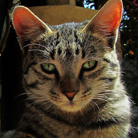 attentive by Lalaji Anwar - Animals - Cats Portraits ( goshu )