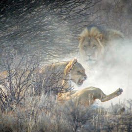 by Anneline Gouws - Animals Lions, Tigers & Big Cats