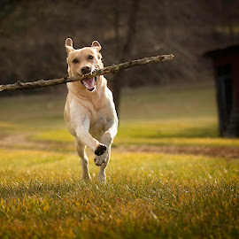 Fetch3 by Troy Wheatley - Animals - Dogs Running ( fetch, retriever, stick, grass, labrador, dog )